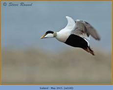 eider-duck-100.jpg