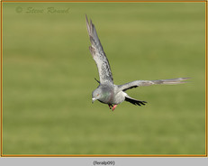feral-pigeon-09.jpg