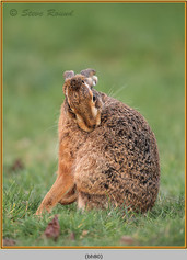 brown-hare-80.jpg