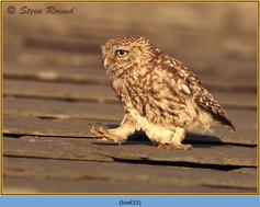 little-owl-33.jpg