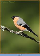 bullfinch-77.jpg