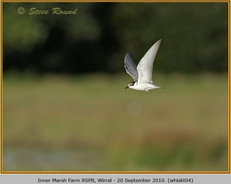 whiskered-tern-04.jpg