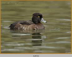 tufted-duck-32.jpg