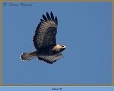 buzzard- 77.jpg
