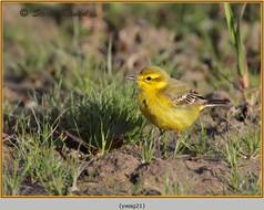 yellow-wagtail-21.jpg