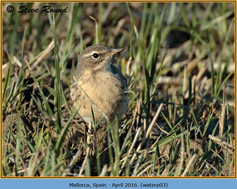 water-pipit-03.jpg