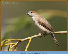 indian-silverbill-06.jpg