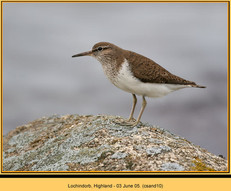 common-sandpiper-10.jpg