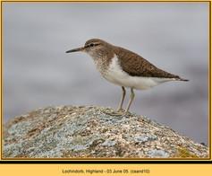 common-sandpiper-10.jpg