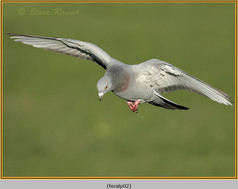 feral-pigeon-02.jpg