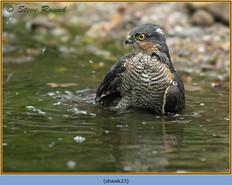 sparrowhawk-23.jpg