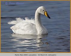 whooper-swan-01.jpg