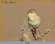 willow-warbler-50.jpg