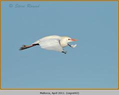 cattle-egret-42.jpg