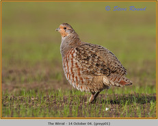 grey-partridge-01.jpg