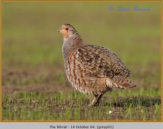 grey-partridge-01.jpg