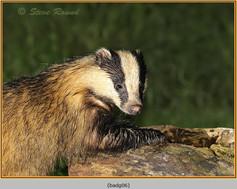 badger-06.jpg
