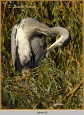 grey-heron-41.jpg