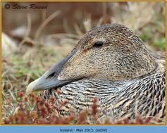 eider-duck- 59.jpg