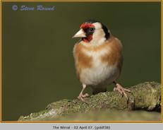 goldfinch-38.jpg