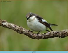 pied-flycatcher-52.jpg