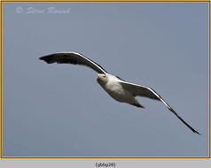 gt-b-backed-gull-28.jpg