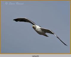 gt-b-backed-gull-28.jpg