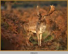 fallow-deer-22.jpg