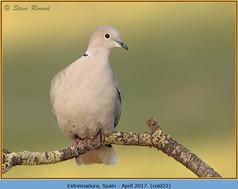 collared-dove-22.jpg