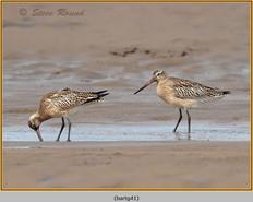 bar-tailed-godwit-41.jpg