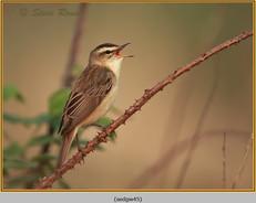 sedge-warbler-45.jpg