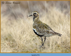 golden-plover-35.jpg