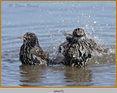starling-25.jpg