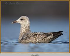 herring-gull-37.jpg