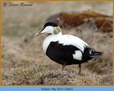 eider-duck- 62.jpg