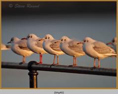 black-headed-gull-40.jpg