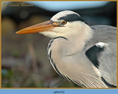 grey-heron-52.jpg