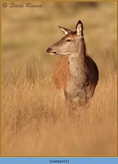 red-deer-51.jpg