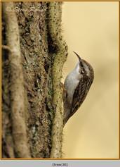 treecreeper-30.jpg