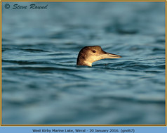 great-northern-diver-67.jpg