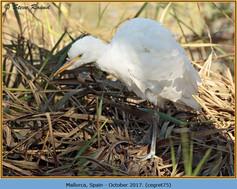cattle-egret-75.jpg