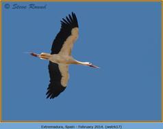 white-stork-17.jpg