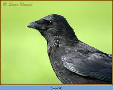 carrion-crow-34.jpg