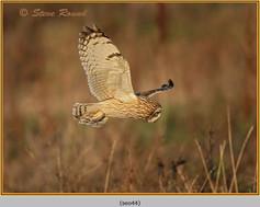 short-eared-owl-44.jpg