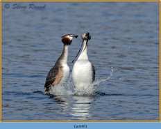 great-crested-grebe-40.jpg