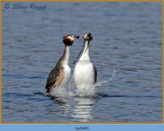 great-crested-grebe-40.jpg
