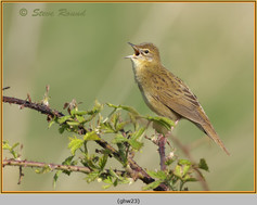 grasshopper-warbler-23.jpg