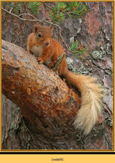 red-squirrel-09.jpg