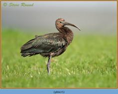 glossy-ibis-15.jpg