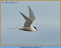 arctic-tern-57.jpg